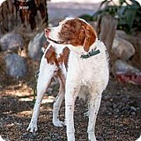 Adopt A Pet :: AZ/Jesse - Glendale, AZ