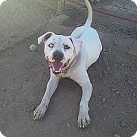 Adopt A Pet :: Odin - Scottsdale, AZ