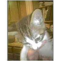 Adopt A Pet :: Baby (brown tabby & white) - Owasso, OK