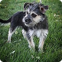 Adopt A Pet :: Cricket - Broomfield, CO