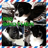 Adopt A Pet :: Big Brother - Bakersfield, CA