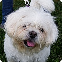 Westie, West Highland White Terrier Mix Dog for adoption in Grayslake, Illinois - Faye