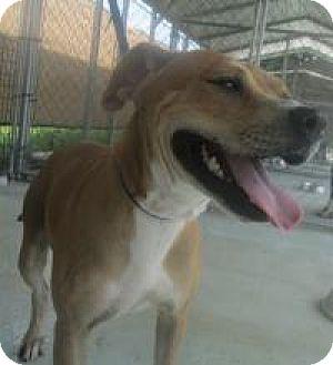 Bull Terrier/Labrador Retriever Mix Dog for adoption in Darien, Georgia - Hennessey