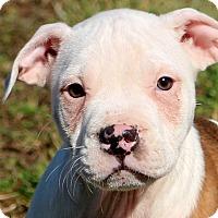Adopt A Pet :: Kobe - Glastonbury, CT