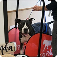 Pit Bull Terrier Dog for adoption in Petaluma, California - PANDA - ID#A322551