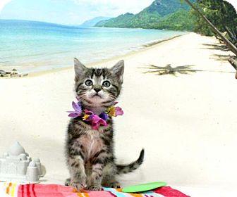 Domestic Shorthair Kitten for adoption in Harrisonburg, Virginia - Rainstorm