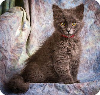 Domestic Mediumhair Kitten for adoption in Anna, Illinois - RISLEY