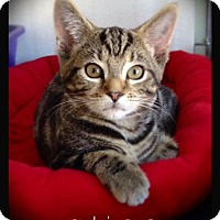 Domestic Shorthair Cat for adoption in Hartford City, Indiana - Alice
