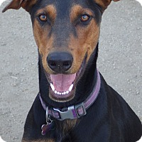 Doberman Pinscher Mix Dog for adoption in Quail Valley, California - Contessa (Tessa)