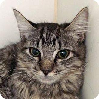 Domestic Mediumhair Kitten for adoption in Prescott, Arizona - Galaxy