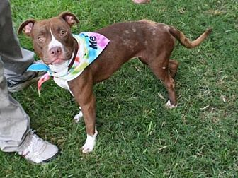 American Staffordshire Terrier Mix Dog for adoption in Houston, Texas - GINGER