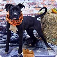 Boxer/Pit Bull Terrier Mix Dog for adoption in Sanford, Florida - KANSAS