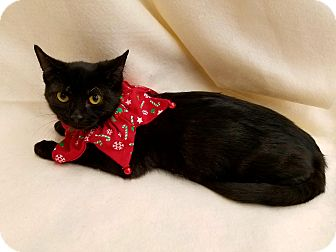 Domestic Shorthair Kitten for adoption in Northfield, Ohio - Binx