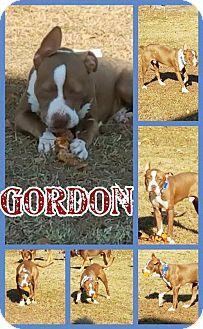 American Bulldog/Hound (Unknown Type) Mix Dog for adoption in Willingboro, New Jersey - Gordon