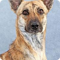 Adopt A Pet :: Ihana - Encinitas, CA