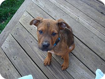 Pit Bull Terrier Mix Puppy for adoption in Staatsburg, New York - Tanner