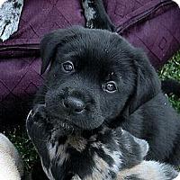 Adopt A Pet :: Goliath - Broomfield, CO