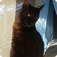 Bombay Cat for adoption in Cerritos, California - Ryuk