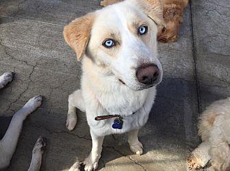 Husky/Labrador Retriever Mix Dog for adoption in Orange, California - Loki
