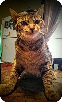 Domestic Shorthair Cat for adoption in New Bedford, Massachusetts - Allie