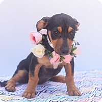 Adopt A Pet :: Macy - Loomis, CA