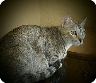 Domestic Shorthair Cat for adoption in Arlington/Ft Worth, Texas - Lana
