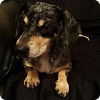 Adopt A Pet :: Piper - Windermere, FL