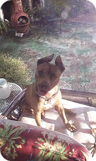 Pit Bull Terrier Mix Dog for adoption in Hollywood, Florida - DIAMOND