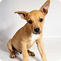 Adopt A Pet :: Rico Terrier Mix - St. Louis, MO