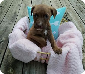 Collie/Pit Bull Terrier Mix Puppy for adoption in Akron, Ohio - Pip