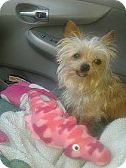 Yorkie, Yorkshire Terrier/Cairn Terrier Mix Dog for adoption in Goodyear, Arizona - Katie