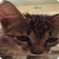 Domestic Mediumhair Cat for adoption in San Antonio, Texas - A395682