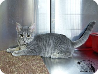 Domestic Shorthair Cat for adoption in Marlinton, West Virginia - Todd