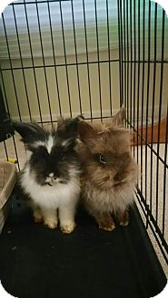 Lionhead for adoption in Aurora, Illinois - Gru and Vector