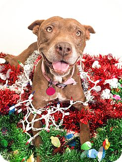 Labrador Retriever/American Pit Bull Terrier Mix Dog for adoption in Phoenix, Arizona - Sandy