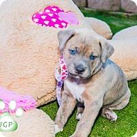 Adopt A Pet :: Romeo - Scottsdale, AZ