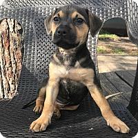 Adopt A Pet :: Peyton - Jacksonville, FL
