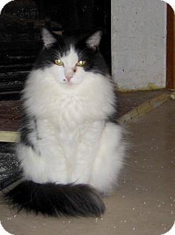 Domestic Mediumhair Cat for adoption in Toronto, Ontario - Scoobie