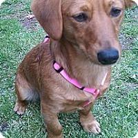 Adopt A Pet :: Molly Mae - Bardonia, NY