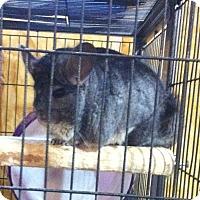 Adopt A Pet :: Molly - Granby, CT