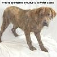 Plott Hound/Labrador Retriever Mix Dog for adoption in Jackson, Mississippi - Frito