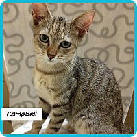 Domestic Shorthair Cat for adoption in Miami, Florida - Campbell