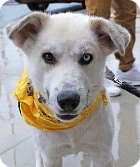 Husky Mix Dog for adoption in Madison, Alabama - Aspen