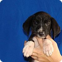 Adopt A Pet :: Maui - Oviedo, FL