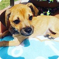 Adopt A Pet :: Maverick - Dallas, TX