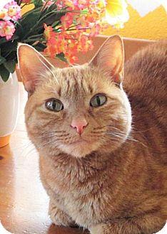 Domestic Shorthair Cat for adoption in Colorado Springs, Colorado - Jojo
