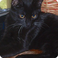 Domestic Shorthair Cat for adoption in Buhl, Idaho - Jet