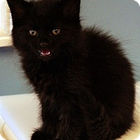 Domestic Longhair Kitten for adoption in Maynardville, Tennessee - Cole