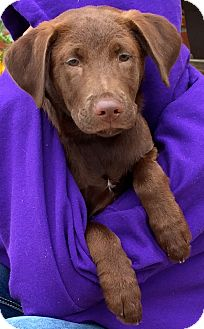 Labrador Retriever Mix Dog for adoption in Normal, Illinois - Alise