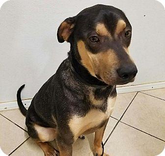 Labrador Retriever/Rottweiler Mix Dog for adoption in San Diego, California - Joey
